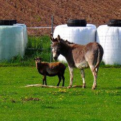 Esel und Schaf