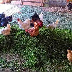 Grasernte im Hühnerstall