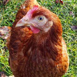 freches Huhn