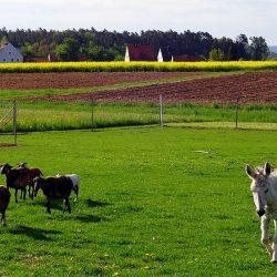 Schafe und Esel